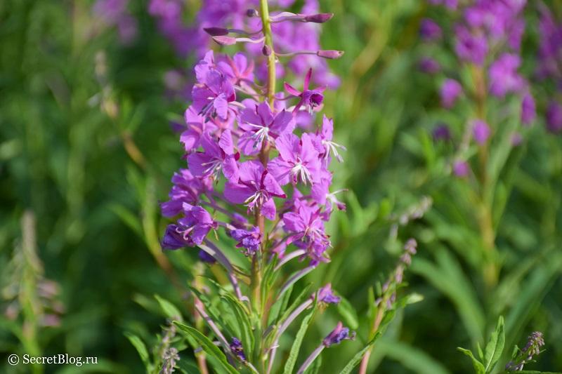 Цветок иван-чая - SecretBlog.ru